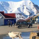 Svalbard Ren
